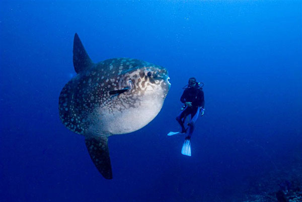 A sunfish, one of the largest fish in the world