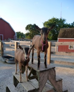 goats_2013.08.05