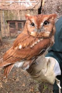 Eastern screech owl_FWNP_2013.11.21