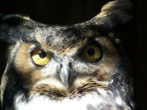 One of Great Parks owl residents. Photo courtesy of volunteer Dianna Spears-Laurence.