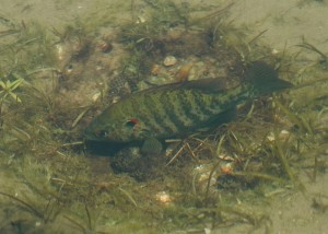 Male redear sunfish guarding his nest. Photo by Ianaré Sévi.