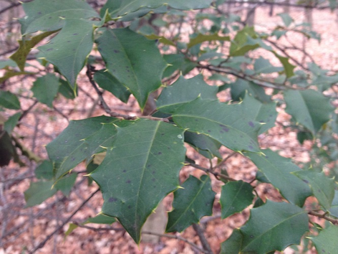 American holly leaves_TC_2014.12