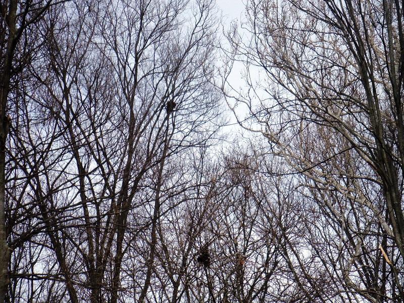 Gray squirrel nests