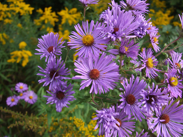 Asters and Goldenrod (Photo courtesy of Diana Ludwig on Flickr)