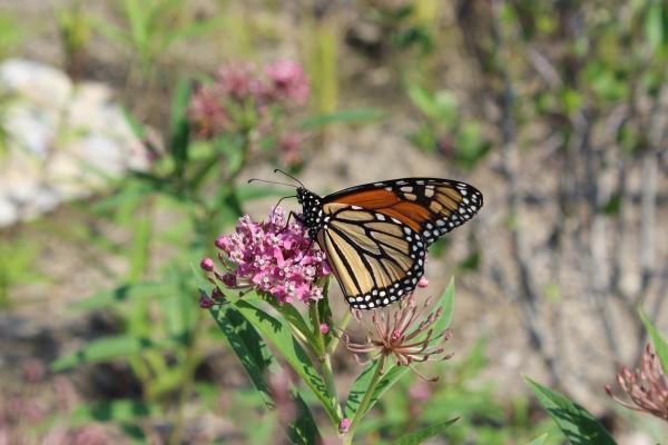 Monarch_Milkweed