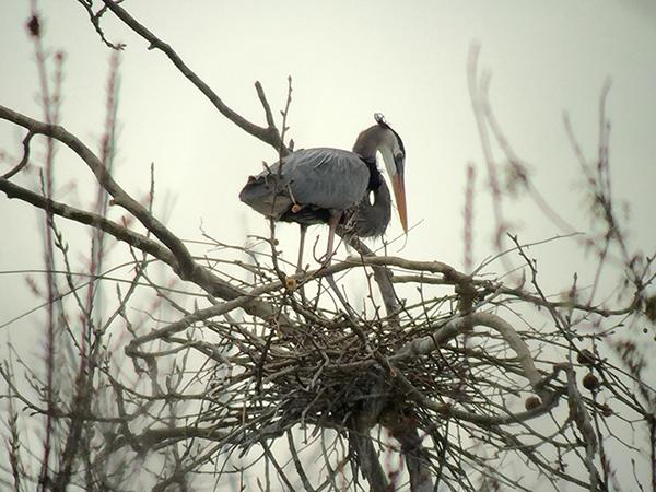 Great blue heron nest (photo courtesy of Richard Amable)