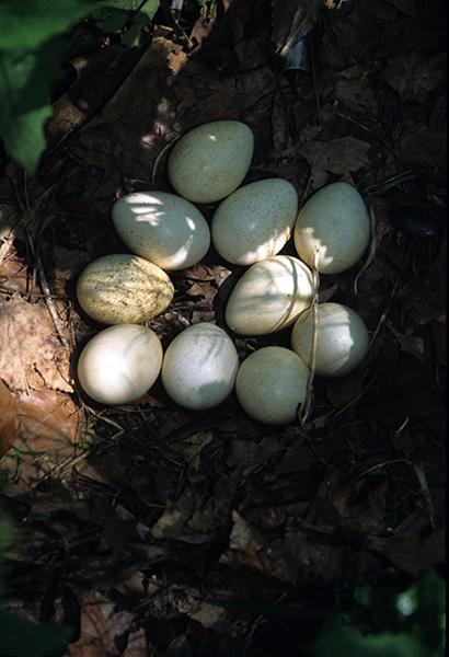 Wild turkey eggs (photo courtesy of ODNR)