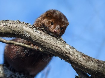 American mink on tree branches