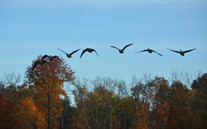 Canada geese fly over Sharon Lake.