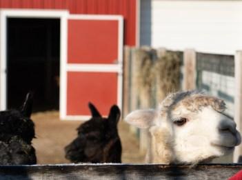 Alpacas at Parky's Farm