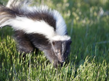 A striped skunk is on high alert, ready to defend itself.