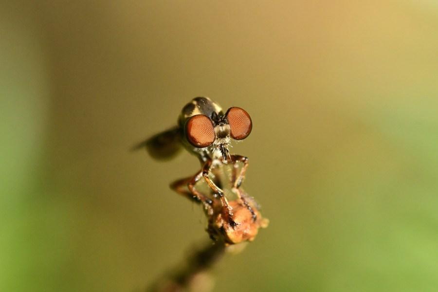 A gnat ogre fly (Genus: Holcocephala) poses on a flower stem.