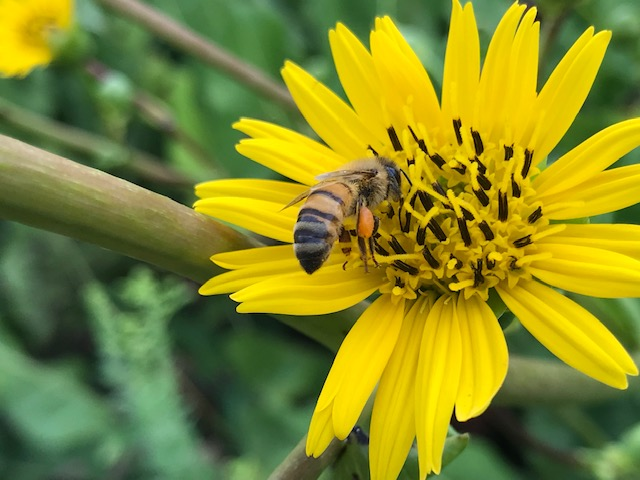 A bee pollinates a bright yellow flower. On the bee's legs is a corbicula or pollen basket.