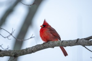 A male northern cardinal (Cardinalis cardinalis) is a bright contrast against the snow in Winton Woods.