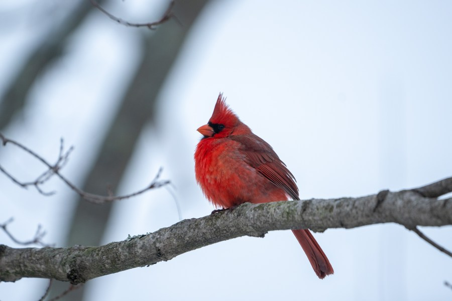 A female and male northern cardinal (Cardinalis cardinalis) poof their feathers out to keep warm during a snowfall.