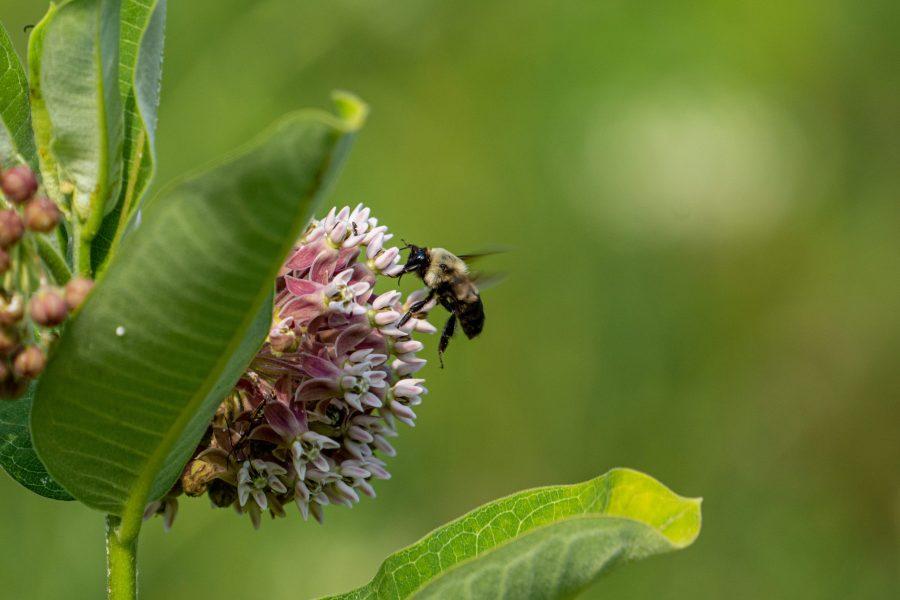 A bumblebee lands on a flower