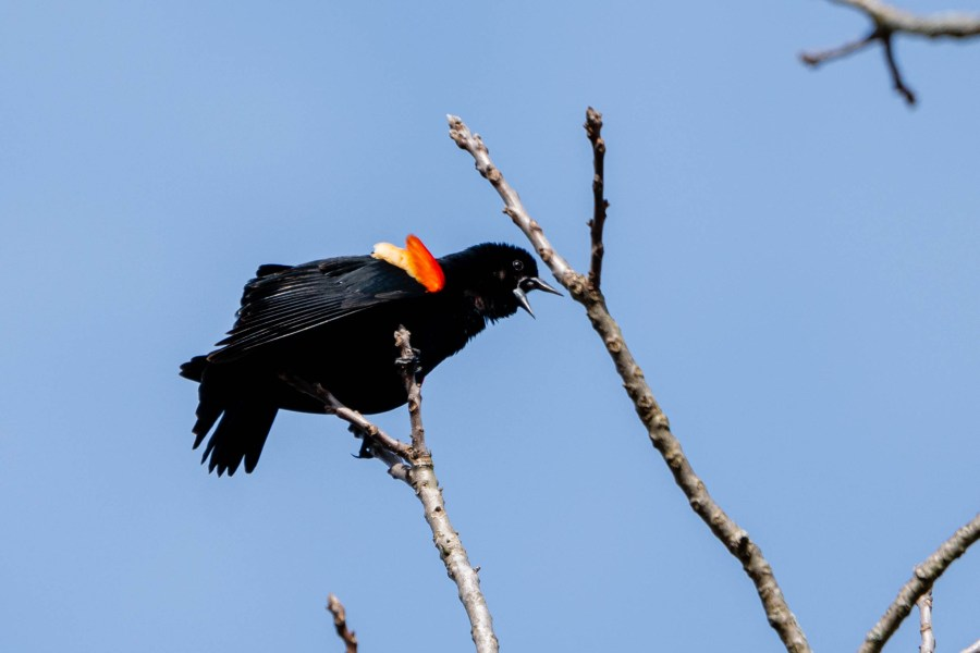 A red-winged blackbird sits on the top-most branch of a tree, calling out to other birds.