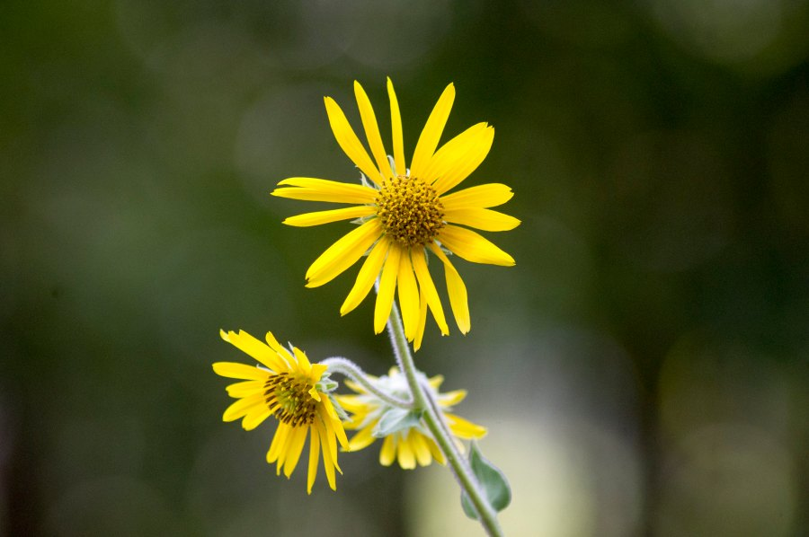 Ashy sunflower (Helianthus mollis)