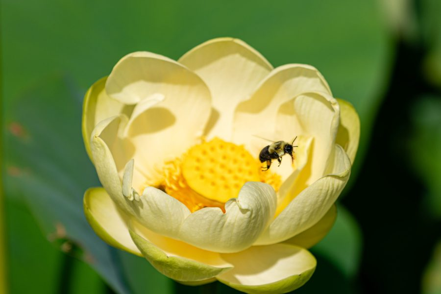 A bee hovers over a yellow lotus flower.