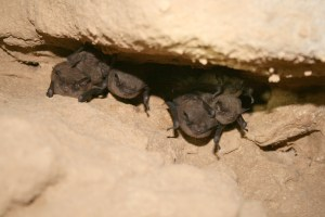 A group of Indiana bats are hibernating in a cool, dark cave.