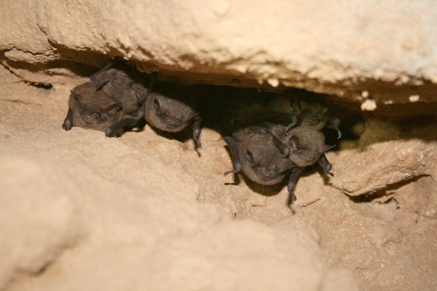 Hibernating Indiana bats (Myotis sodalis)