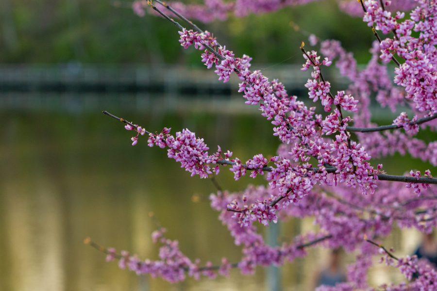 Eastern redbud blossoms