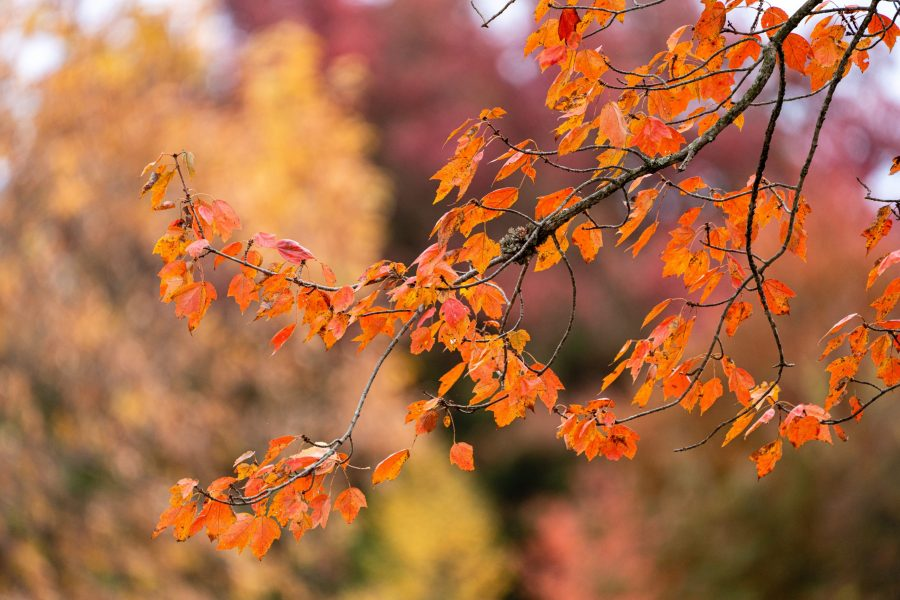 Leaves turn orange and start to fall from a tree branch at Winton Woods.