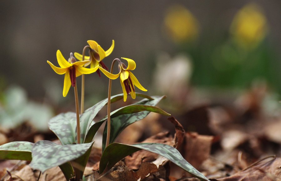 Yellow trout lily