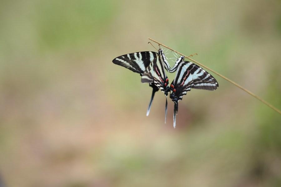 Two zebra butterflies perching on a thin tree branch