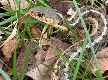 An eastern garter snake has its bright red tongue out, smelling for predators or prey