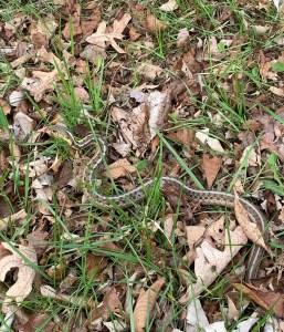 An eastern garter snake wriggles among grass and fallen leaves