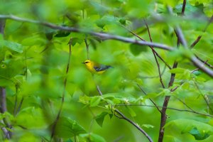 A blue-winger warbler sits among the trees.