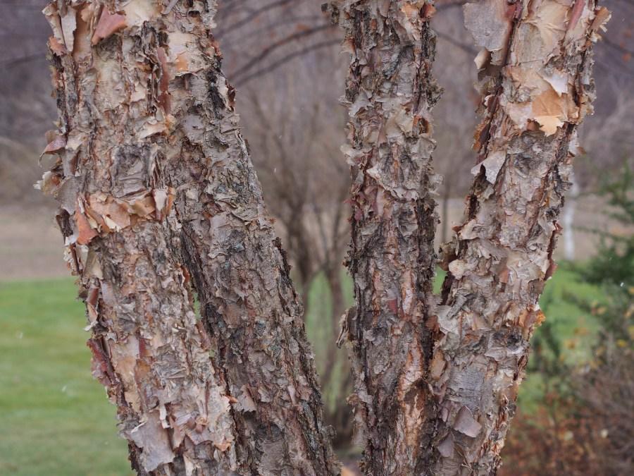 River birch (Betula Nigra)