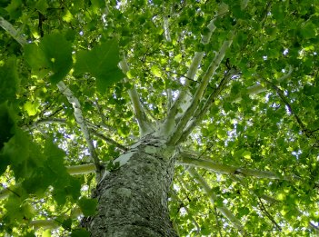 Looking at the top and canopy of an American Sycamore tree.