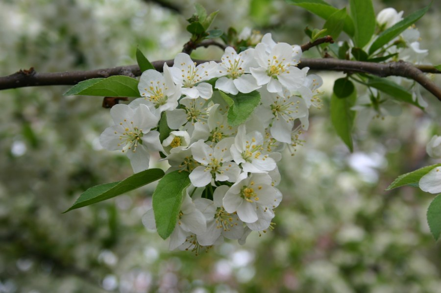 Sargent crabapple blossoms