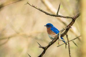 An eastern bluebird perches on a spiky tree branch.