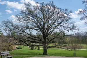 A large bur oak tree begins to grow buds on its branches at Glenwood Gardens.