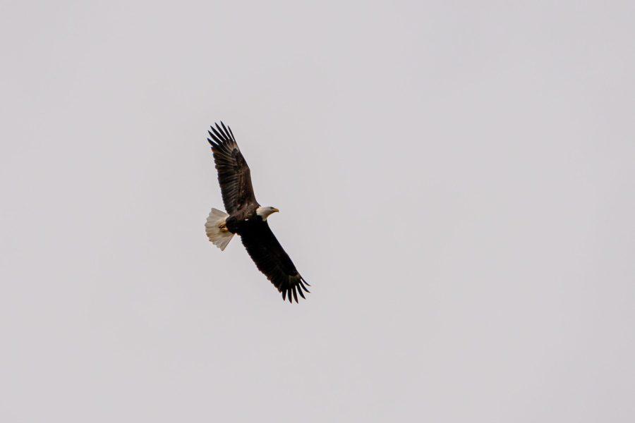 A bald eagle soars against a gray sky.