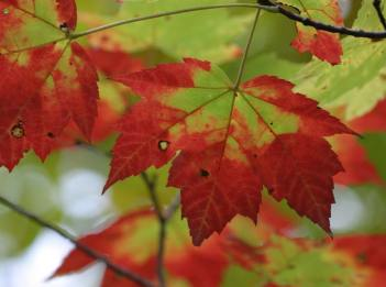 The leaves of a sugar maple turning red in fall.