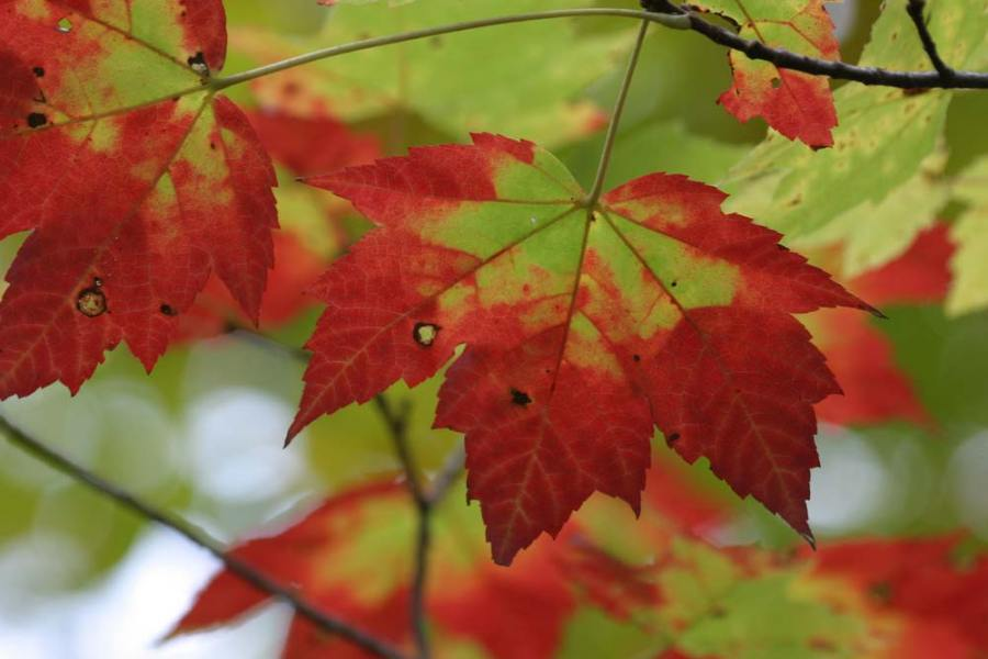 The leaves of a sugar maple turn from green to red in fall.