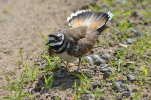 A female killdeer stands on guard, protecting her nest.