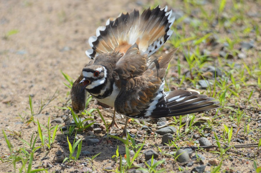 A female killdeer poofs up her tail feathers and drags her wings on the ground, pretending to be injured to lure predators away from her nest.