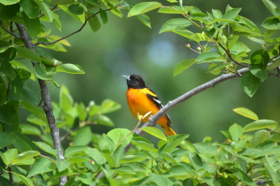 An orange and black Baltimore oriole (Icterus galbula) rests on a branch. It is surrounded by green leaves.