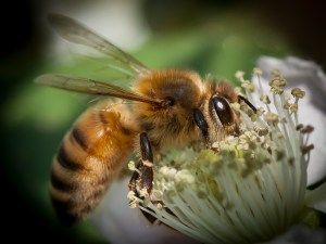 A honey bee enjoys a snack from a flower.