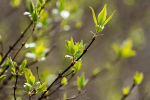 Small leaves and buds begin to grow on a tree branch.