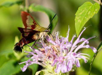 A hummingbird moth pollinates a purple flower.