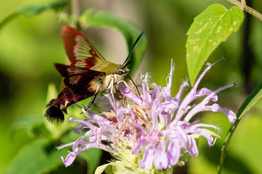 A hummingbird moth pollinates a flower.