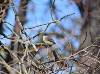 An Eastern Phoebe, a gray flycatcher, sits in tree branches during a sunny day.