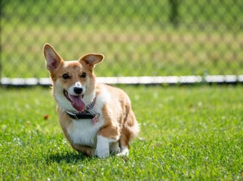 A corgi plays in the field of Simmonds Family Dog Park at Miami Whitewater Forest.