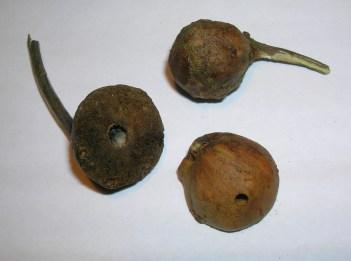 Oak Marble Gall